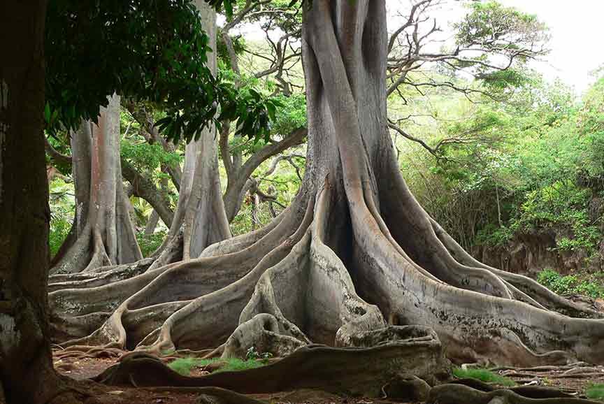 Allerton Garden, Moreton Fig Trees, Kauai