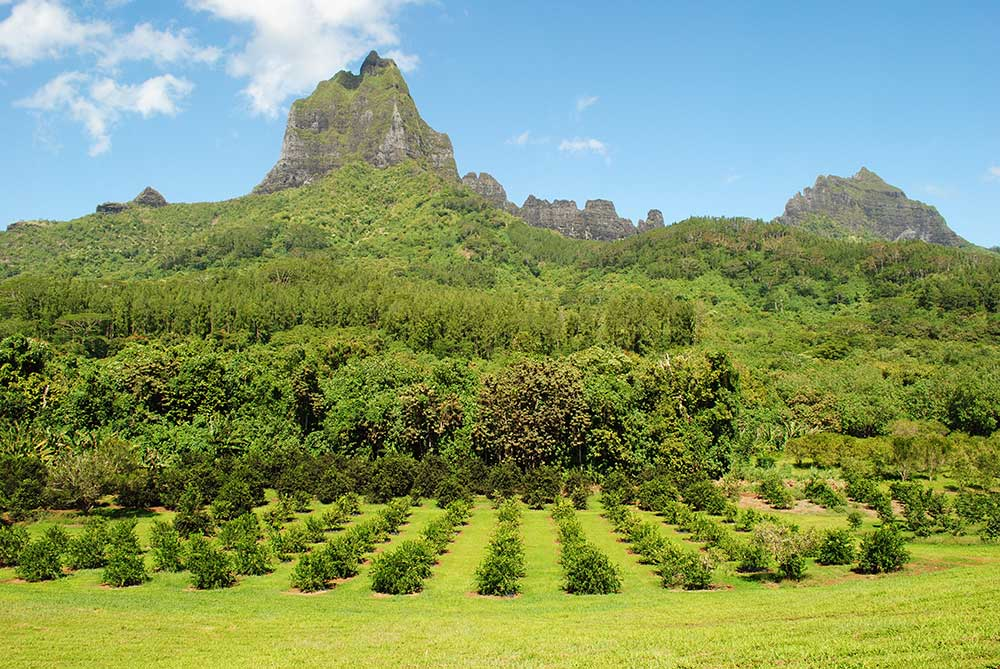 Pineapple plantation, Moorea