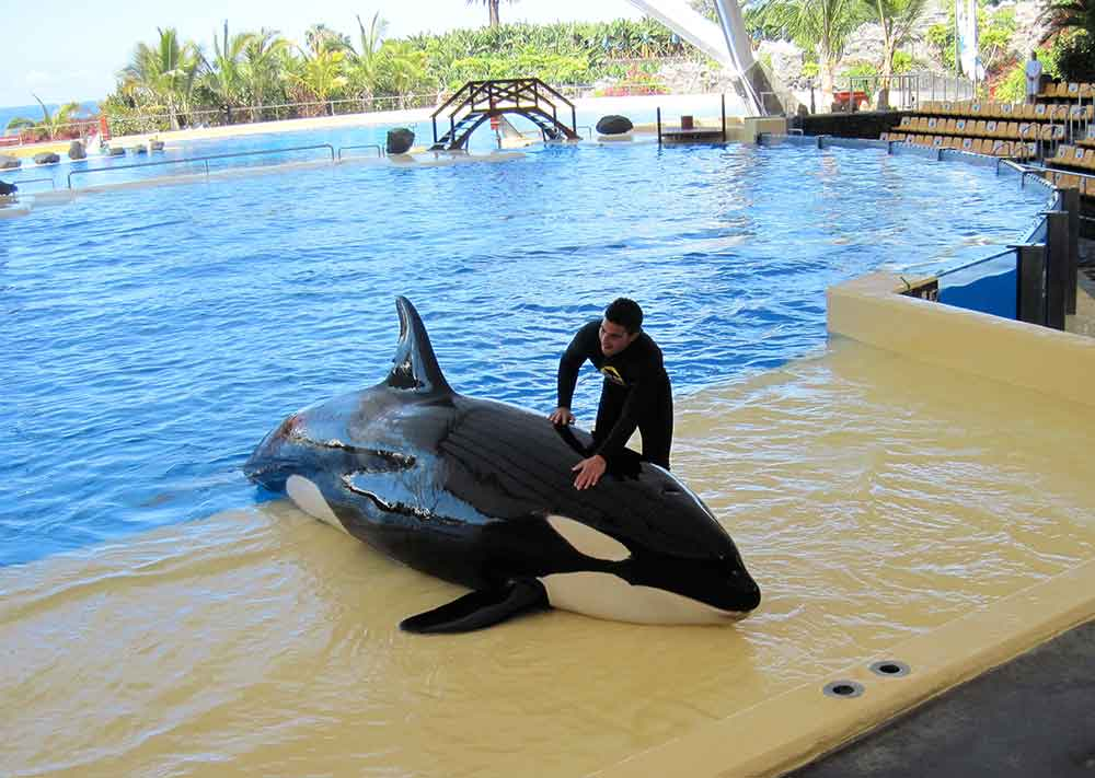 Loro Parque, Orca Show, Tenerife, Canary Islands