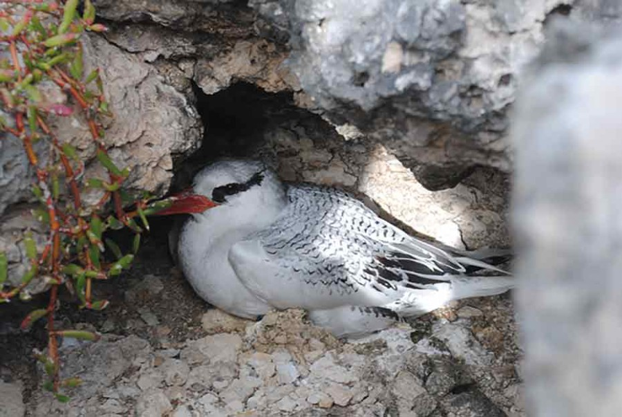 Great Bird Island, Red-billed Tropicbird, Antigua