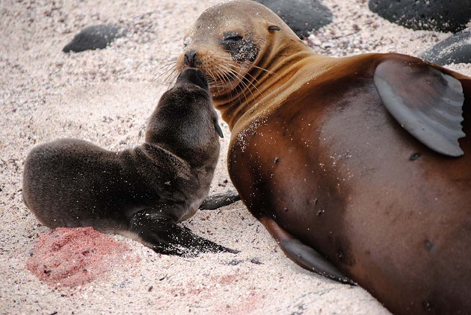 Newborn sea lion with mother