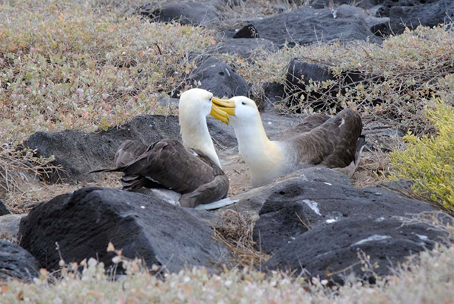 Waved albatrosses, Galapagos