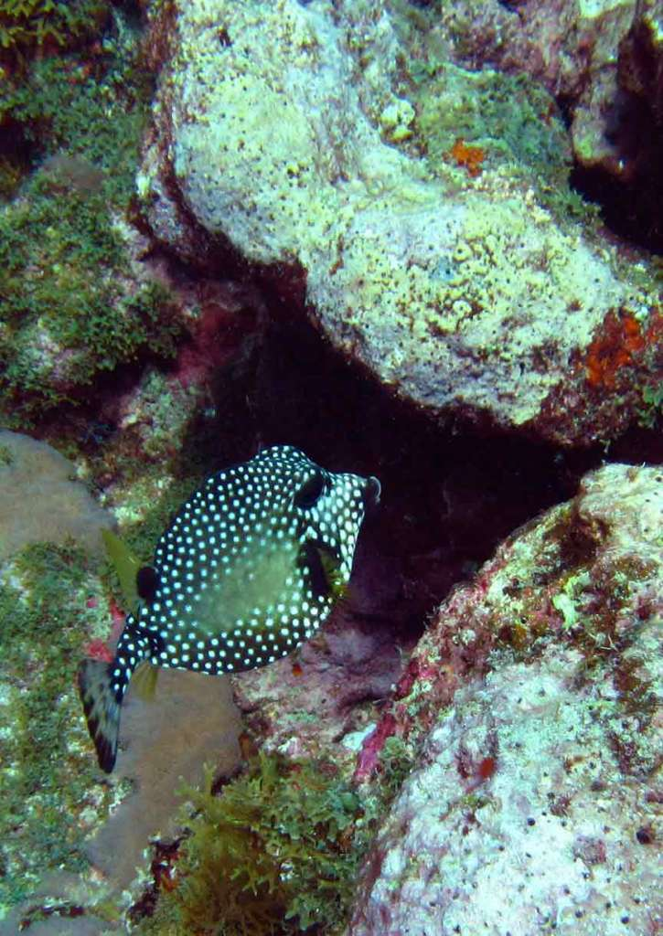 Trunkfish, Cathedral Reef, Tobago