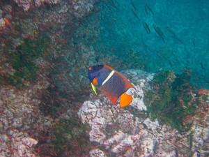 Queen Angelfish, Galapagos