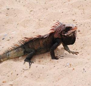 Iguana - St. Thomas