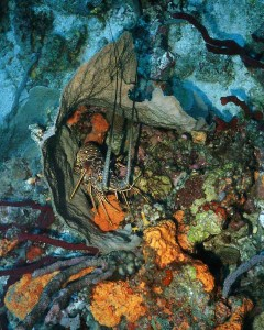 Caribbean Lobster inside barrel sponge