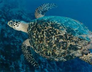 Hawksbill turtle, Caribbean