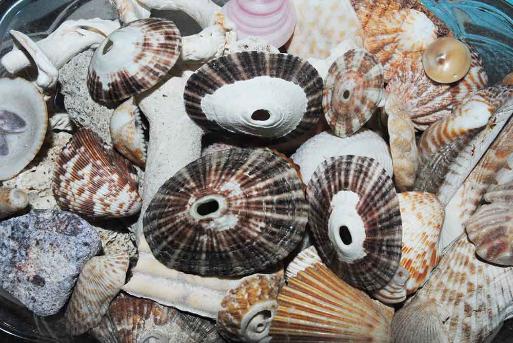 "Limpet ""keyhole"" shells and others"