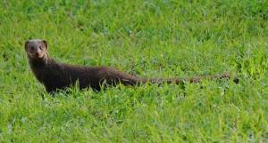 Mongoose - St. John, USVI