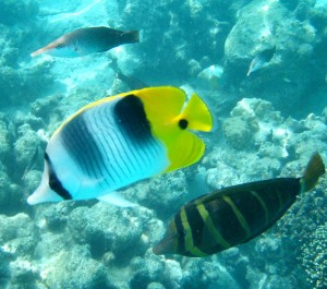 Reef Fish, Moorea