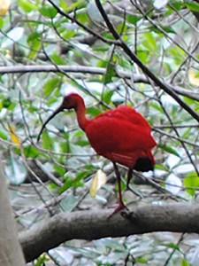 Scarlet Ibis - Tobago