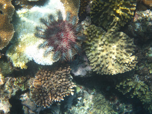 Snorkeling, Crown of Thorns starfish,