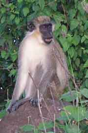 Green Vervet Monkey