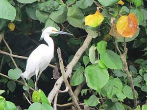 Heron - Dominica