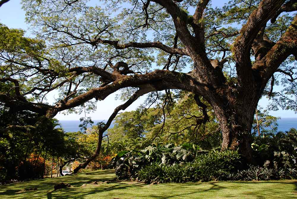 Saman Tree, Romney Manor, St. Kitts