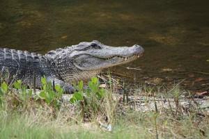 Alligator1WEB