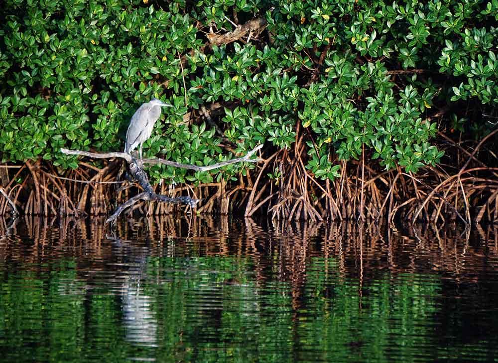 Blue heron in the mangroves at Ding Darling National Wildlife Refuge