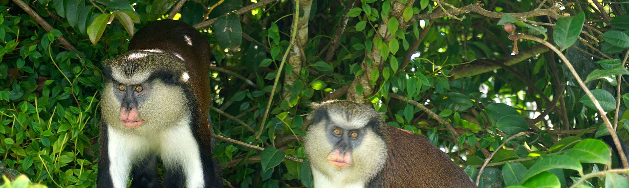 Grenada Featured Image - Mona Monkeys