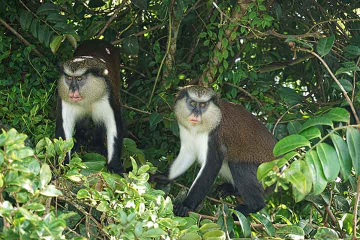 Mona Monkeys