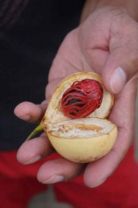 Nutmeg - the red covering is mace.