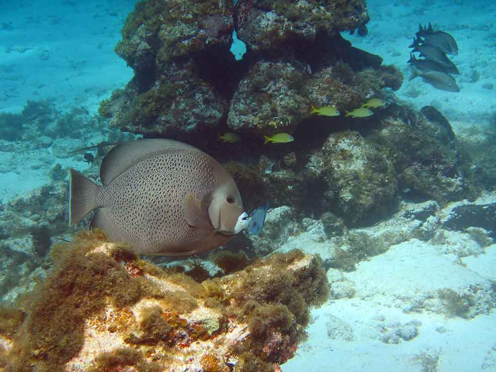 Angelfish on the reef, Cancun Underwater Museum (Photo: Debbra Dunning Brouillette)
