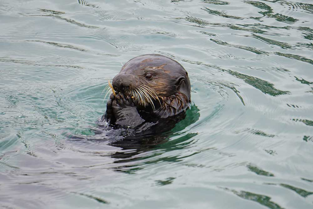 Sea otter eating with paws, Morro Bay, California