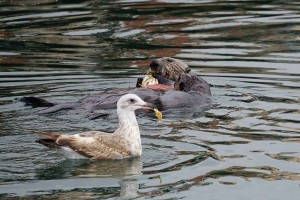 Two otters with bird
