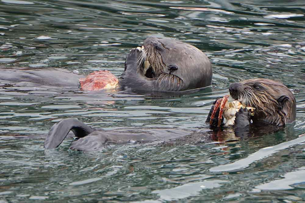 Sea Otters on Morro Bay, California