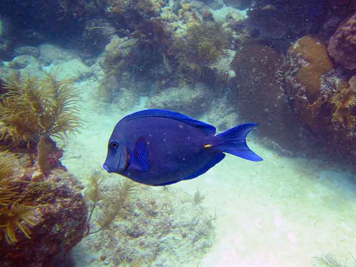 Blue tang (Photo: Debbra Dunning Brouillette)