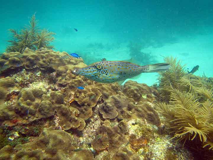 Scrawled filefish on the reef.