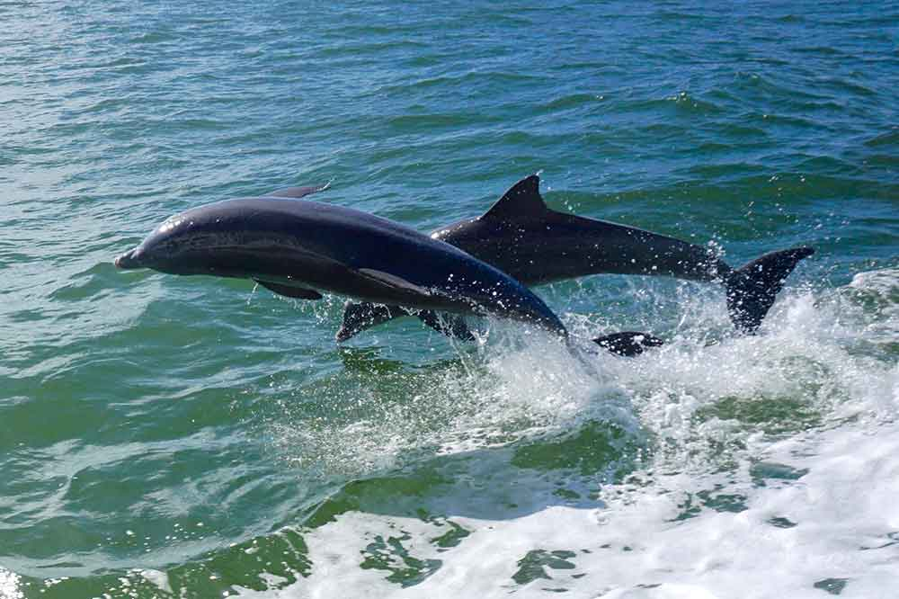 Dolphins followed our boat to and from Cabbage Key.