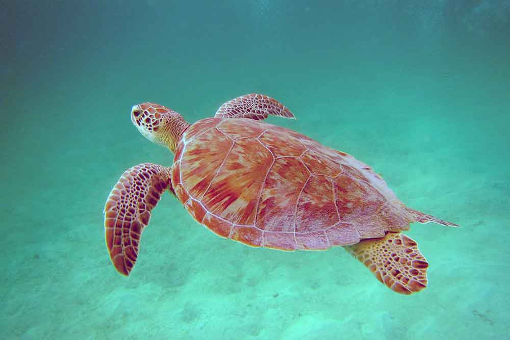 Green turtles are plentiful in the Tobago Cays.