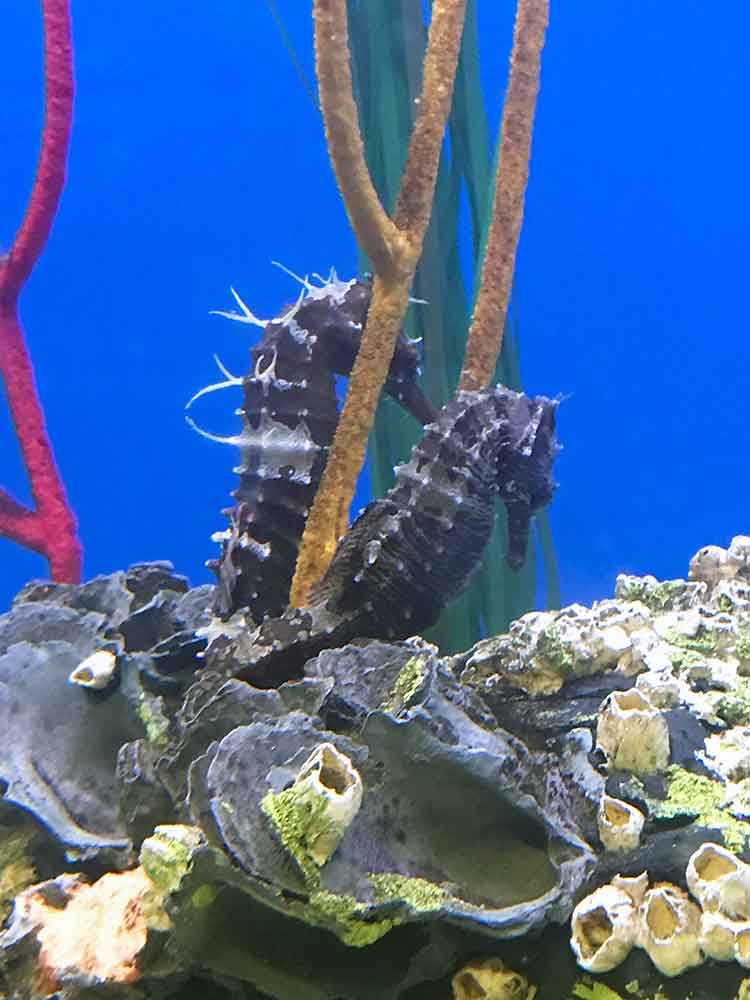 North Carolina Aquarium at Pine Knoll Shores Seahorses exhibit