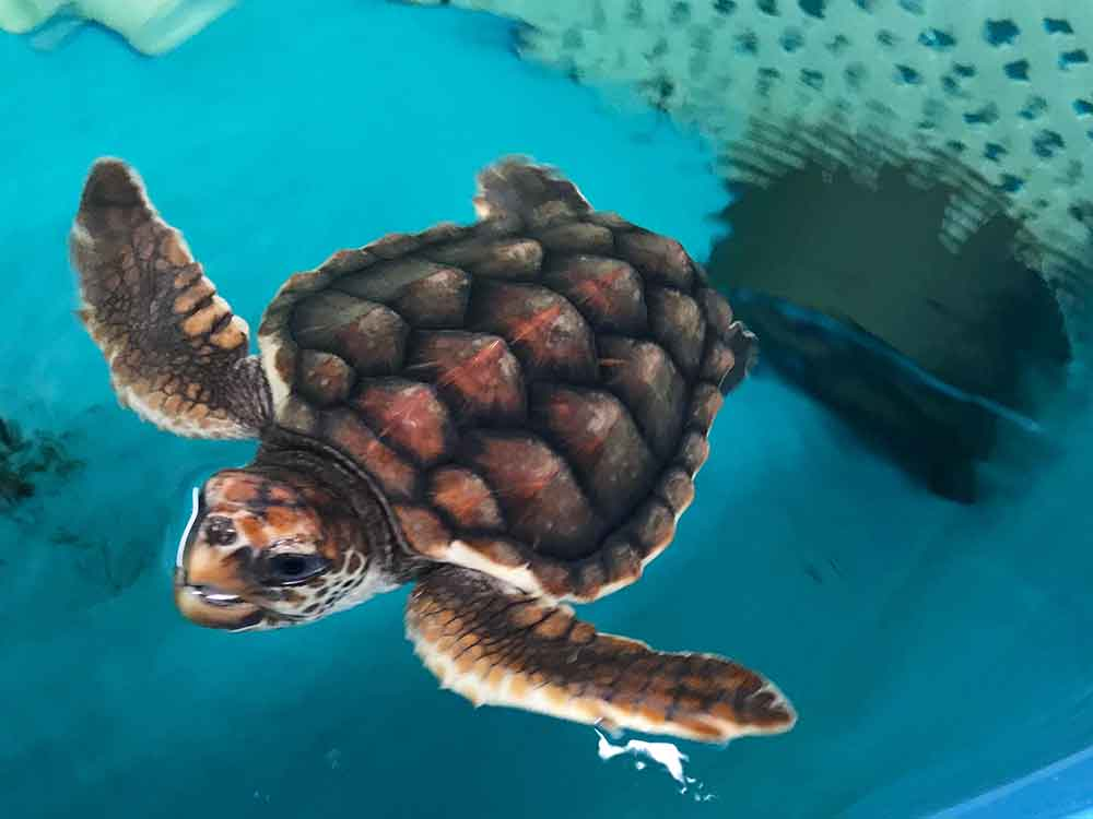 North Carolina Aquarium at Pine Knoll Shores sea turtle in rehab area