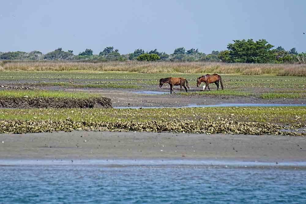 Wild horses on Shackleford Banks